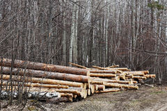 Pile of folded logs of trees lie on the ground in the forest. Royalty Free Stock Photo
