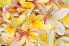 Pile fraîche des fleurs jaunes de plumeria images libres de droits