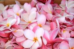 Pile fraîche des fleurs roses de plumeria images libres de droits