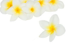 Pile of frangipani flowers Stock Photography