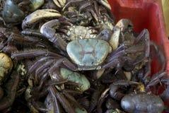 Pile of fresh crabs. Fishing box full of fresh crabs stock image