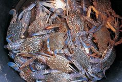 Pile of fresh crabs Stock Photography
