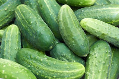 Pile of fresh green cucumbers. Pile of fresh large green cucumbers after harvest Royalty Free Stock Photo