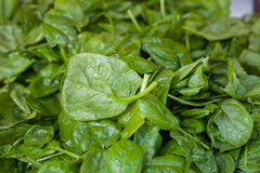 Pile of Fresh green spinach leaves Stock Images