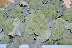 Pile of fresh heading broccoli Royalty Free Stock Images