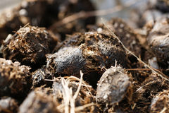 Pile of fresh horse manure Stock Photography