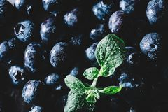 Pile of fresh juicy blueberry fruits and a wet green leaf royalty free stock photo