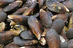 Pile of fresh mussels on ice at the market. Texture background royalty free stock photography