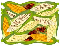 A Pile of Fresh Organic  Corns Background Stock Images