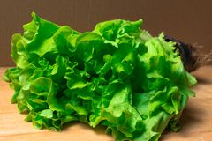 Pile of fresh organic letucce heads. Harvest heap of freshly cut green salad leaves on wooden table. Clean eating concept. Healthy. Pile of fresh and curly Royalty Free Stock Photography