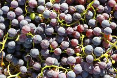 Pile of Fresh Picked Grapes on the Vine Stock Photo