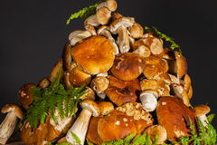 Pile of fresh porcini mushroomsblack background. Big pile of fresh porcini mushrooms before cooking, decorated with green fern on a black background Stock Photos