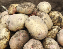 Pile of fresh potatoes Royalty Free Stock Images