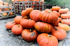 Pile of fresh pumpkins Stock Photos