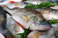 A pile of fresh raw fish on a tray. Close-up. Carp. Fresh catch Stock Image