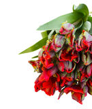 Pile fresh of red parrot tulips Royalty Free Stock Image