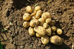Pile of freshly dug potatoes on a field. Agriculture, industry, food production and farming concept Stock Photo