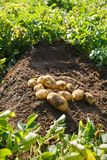 Pile of freshly dug potatoes on a field. Agriculture, industry, food production and farming concept Stock Photos