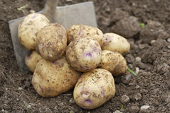 Pile of freshly harvested potatoes with Spade. Royalty Free Stock Image