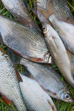 Pile of freshwater common bream fish and silver bream or white b Stock Images