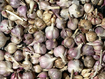 Pile of garlic. Stock Images