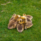 Pile of Goslings. Spring baby goslings piled up in the grass Royalty Free Stock Photography