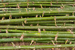 Pile of green bamboo Royalty Free Stock Image