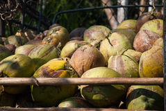 Pile of green coconuts. In the truck rear Royalty Free Stock Image