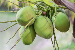 Pile of green coconuts. With bunches Royalty Free Stock Photography