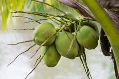 Pile of green coconuts. With bunches Stock Image