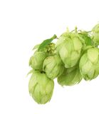 Pile of green hop cones. Royalty Free Stock Photo