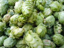 Pile of Green Hops Cones Stock Image