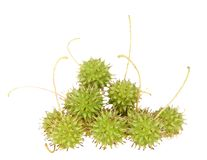 Close up on fresh green sweet gum tree seed pods isolated on white royalty free stock photography
