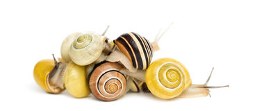 Pile of Grove snails or brown-lipped snails, Cepaea nemoralis Royalty Free Stock Photography