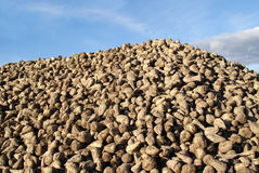 Pile of Harvested Sugar Beet. A heap of newly harvested sugar beets (Beta vulgaris) against the sky. Photographed in Salo, Finland in October 2010 Stock Image