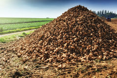 Pile of harvested sugar beet Royalty Free Stock Photography