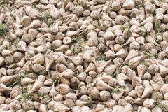 Pile of harvested Sugar Beets. Beige and green, above and under the soil growing plants whose roots contain a high concentration of sucrose and which is grown Stock Images