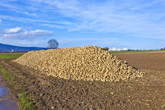 Pile of harvested sugar beets Stock Image