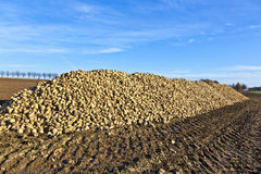 Pile of harvested sugar beets Royalty Free Stock Image