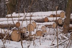 Logs. A pile of large logs, logging, cutting down trees in the winter forest stock photography