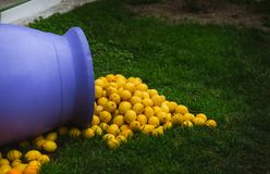 Pile of lemons spilling from a purple vase, decoration in Menton, the city of Lemons, France. Pile of lemons spilling from a vase, decoration in Menton, the city Stock Image