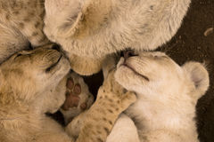 Pile of lion cubs sleeping. In a pile Stock Photos