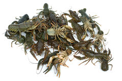 Pile of live crawfishes Royalty Free Stock Photo