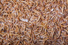 A pile of living mealworms larvae. Stock Image