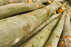 Pile of lumber. From beech trees lying in a forest royalty free stock photo