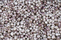 Pile of many fresh garlic in the farmers market for sale from field for background. Close up. Pile of many white fresh garlic in the farmers market for sale from Stock Photography