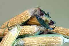 Crop of many ripe raw corn on the cob with green leaves. Pile of many ripe corn on the cob with leaves  on green background closeup Royalty Free Stock Photos