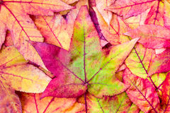 Pile of maple leaves in fall colors Royalty Free Stock Image