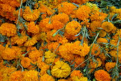 Pile of Marigolds Royalty Free Stock Images