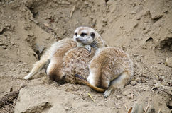 Pile of Meerkats Stock Image